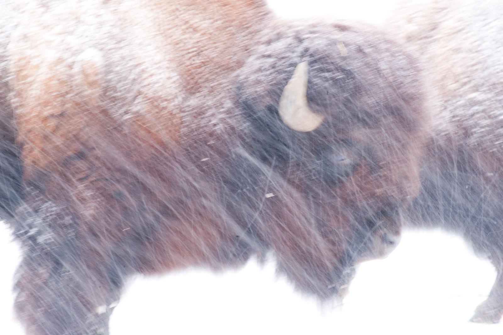 Wild beasts in the snow, Januari 2010