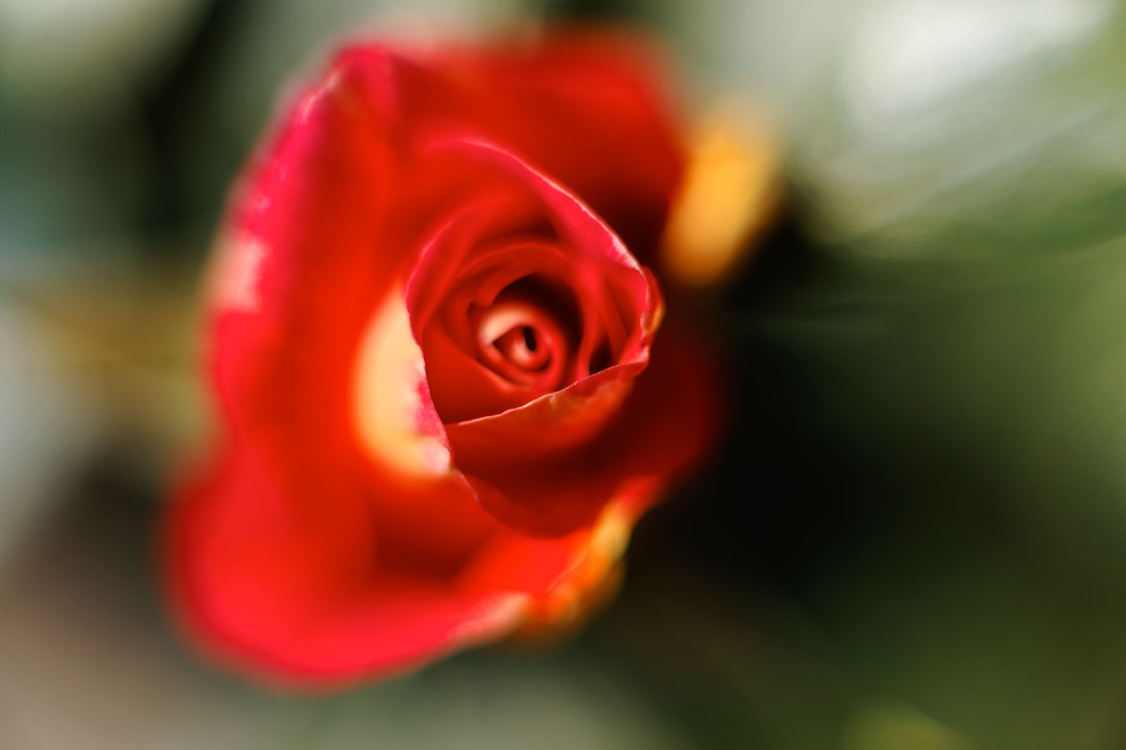 The first rose, April 2011